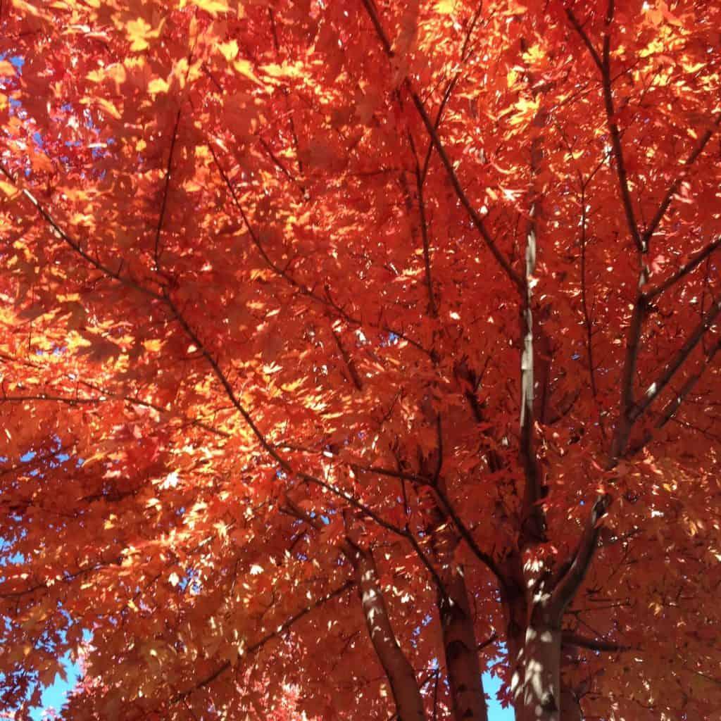 Autumn Blaze Maple | High Desert Landscaping | Central Oregon Landscaping