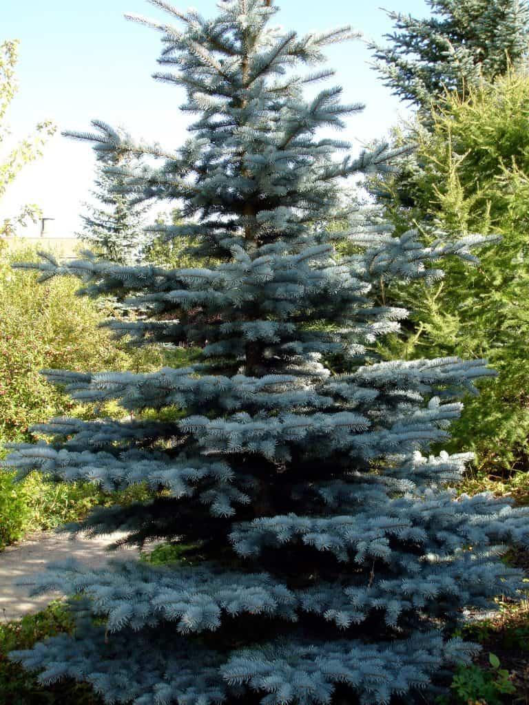 Blue Spruce | Central Oregon Landscaping