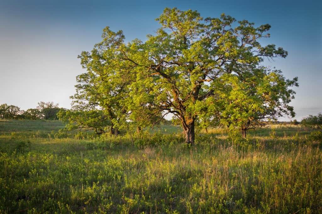 Bur Oak | Central Oregon Landscaping