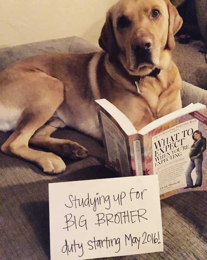 Pregnancy Announcement with Dog that is reading a book and with a sign that says studying up for big brother duty starting May 2016