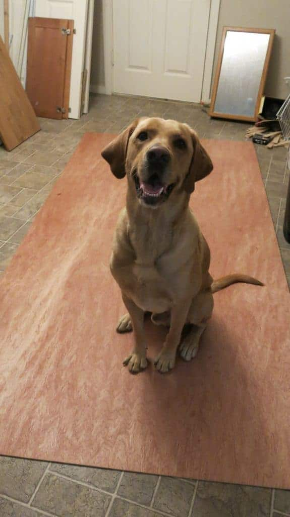 Yellow lab dog sitting on top of a sheet of underlayment plywood in kitchen