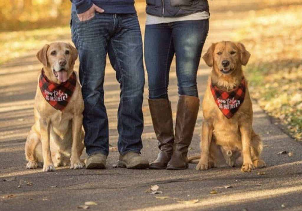 Two golden retriever dogs sitting on ground next to their human mom and dad with red and black plaid bandanas that say soon to be big brother to announce pregnancy