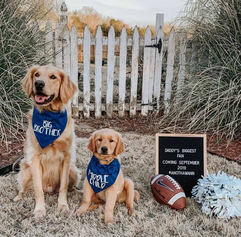 Big dog with big brother bandana and puppy with middle child banana next to letter board, football and pom pom to announce pregnancy on social media