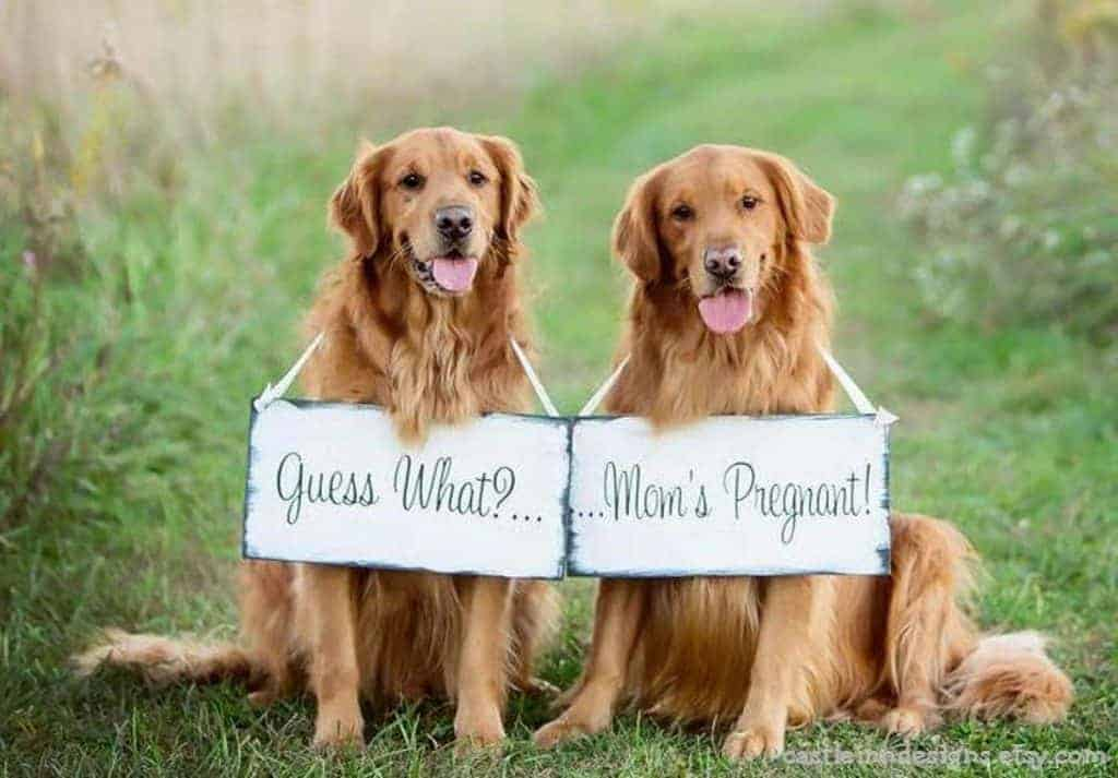 "Two golden retriever dogs wearing wooden signs around their necks that say ""guess what"" and ""...mom's pregnant!"" with green grass in the background"