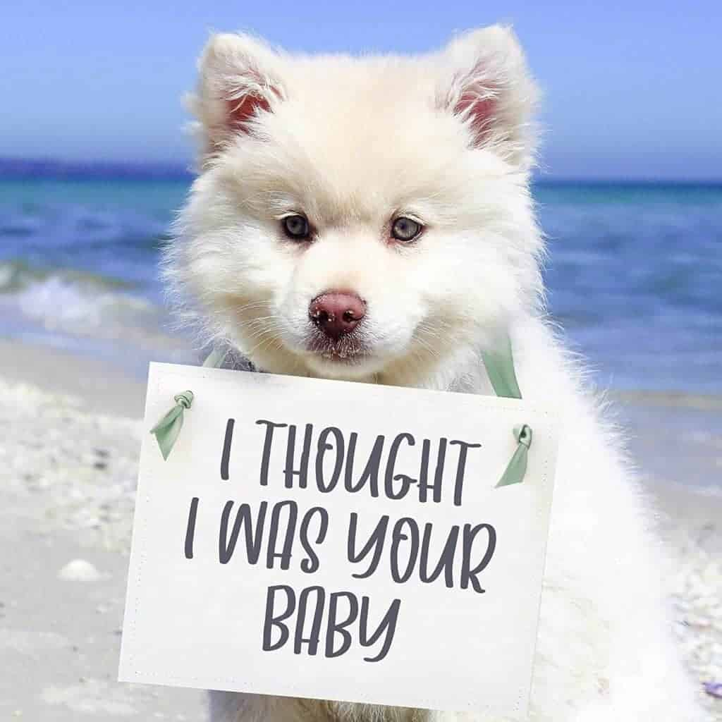White fluffy dog on beach with waves in the background wearing a sign around his neck that says i thought i was your baby
