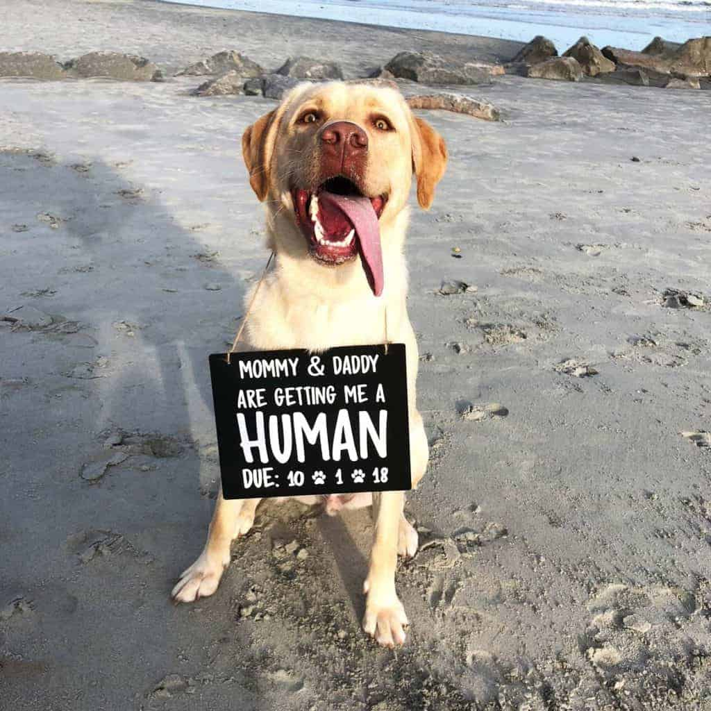 Yellow lab dog on beach with waves in background wearing a white and black sign that says mommy and daddy are getting me a human with due date