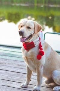 Yellow lab dog wearing red and white scarf with pom poms