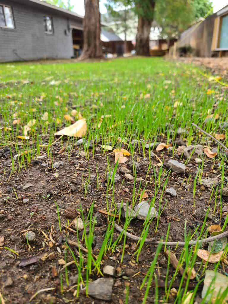 shows the grass sprouting in backyard